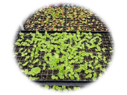 植え付ける前の苗