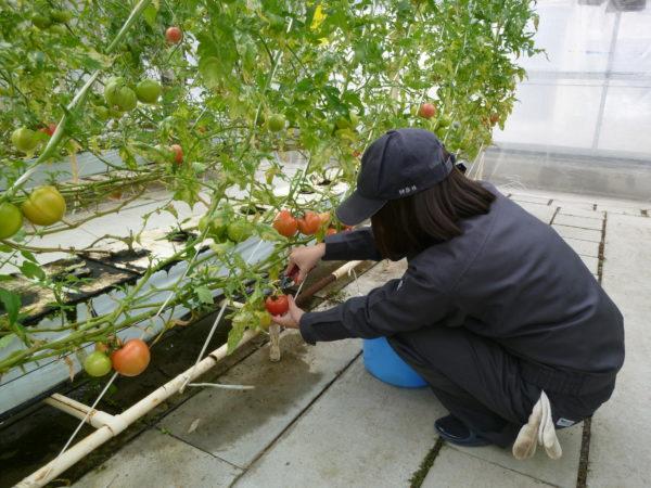 野菜の栽培実習08